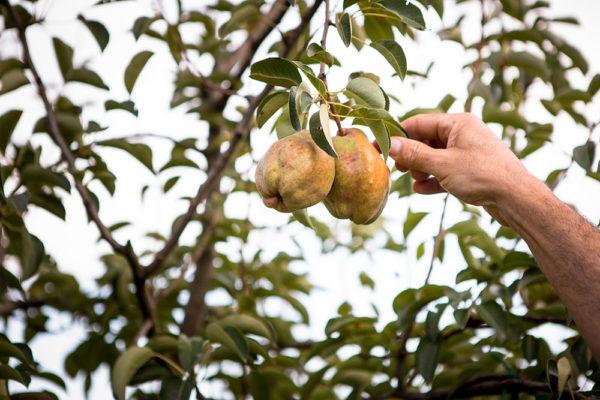 Piante-da-frutto-umbria