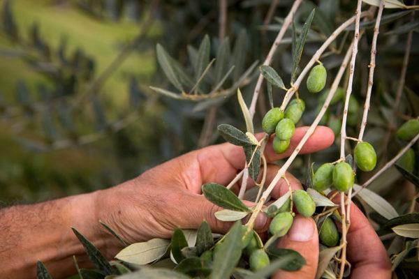 Piante-olivo-umbria